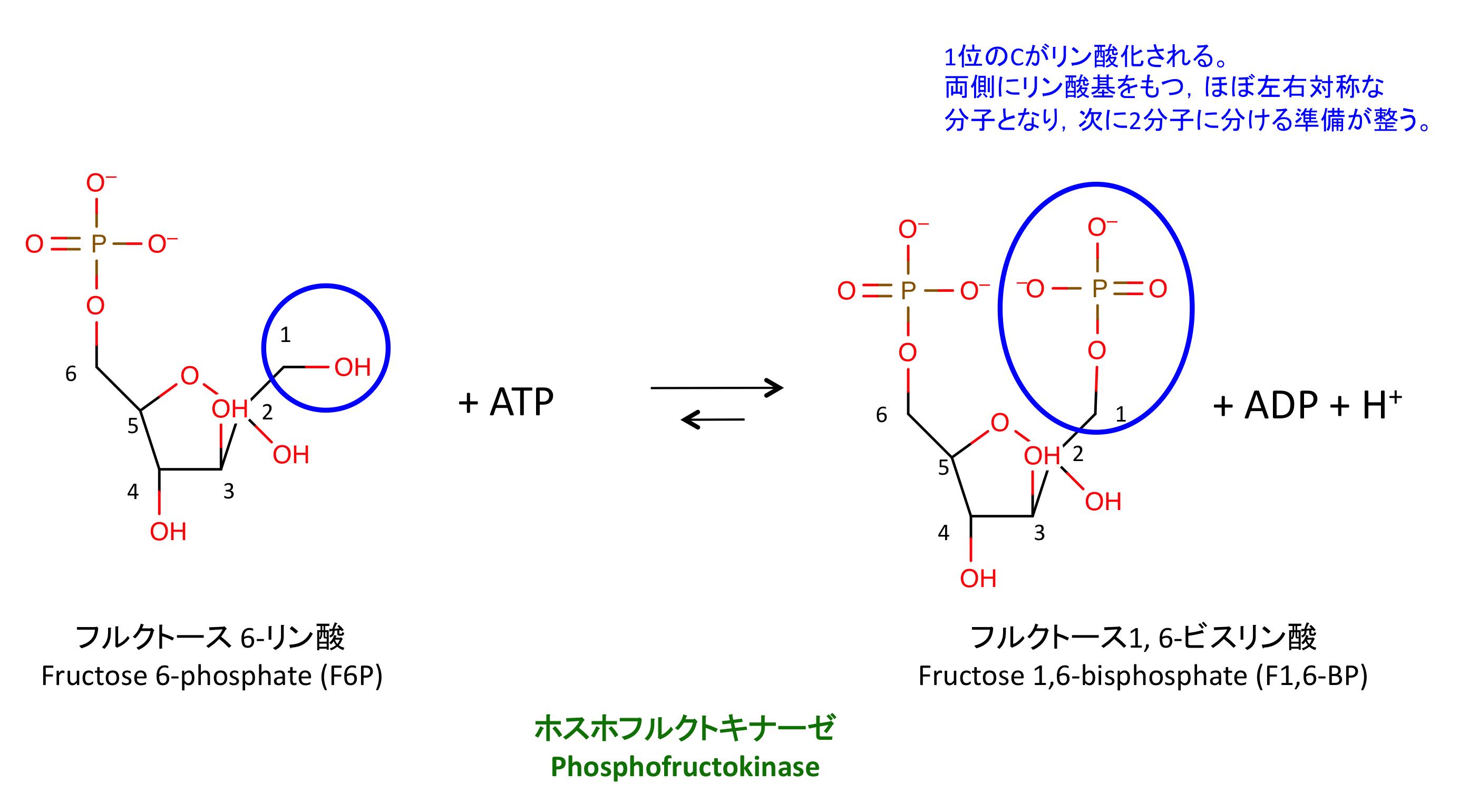 解糖系: 1 分子のグルコースを 2...