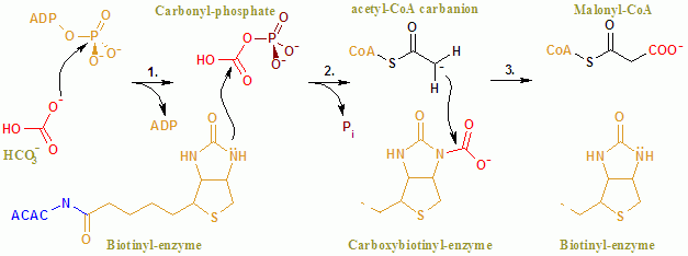脂肪酸合成の律速酵素 アセチル CoA カルボキシラーゼ (ACC): 構造と機能